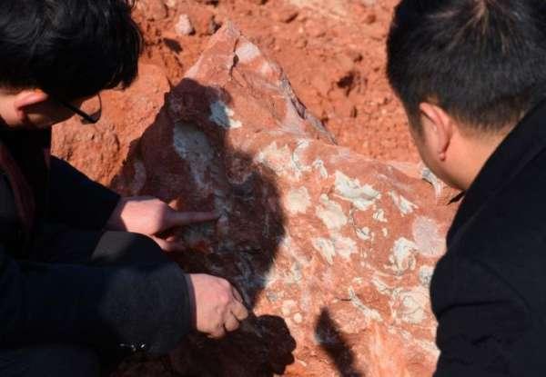 距今1.3亿年 江西一工地发现20余枚恐龙蛋化石